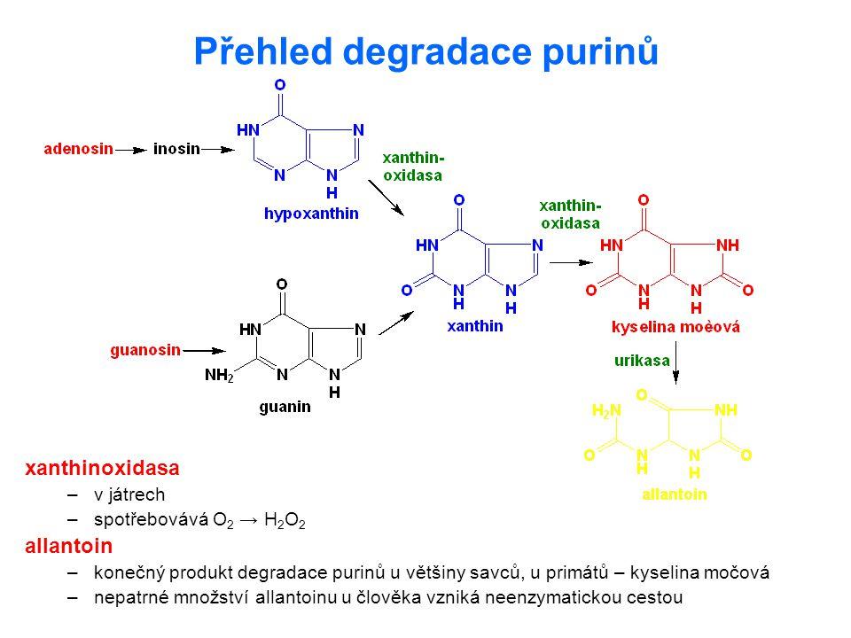 Přehled degradace purinů