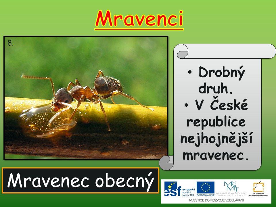 V České republice nejhojnější mravenec.