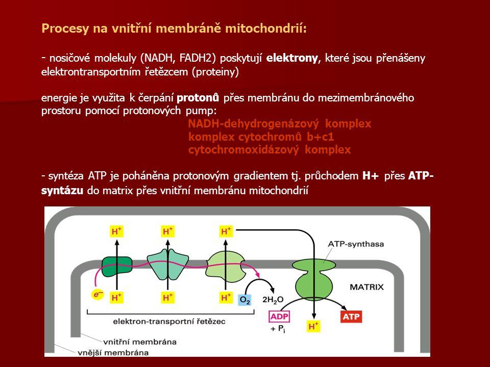 Procesy na vnitřní membráně mitochondrií:
