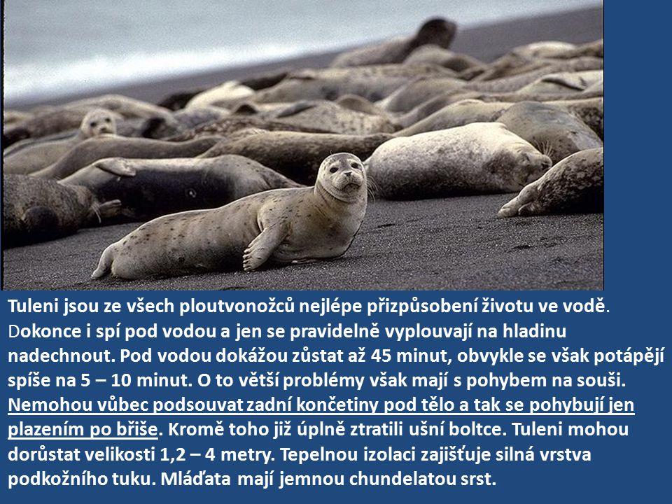 Tuleni jsou ze všech ploutvonožců nejlépe přizpůsobení životu ve vodě
