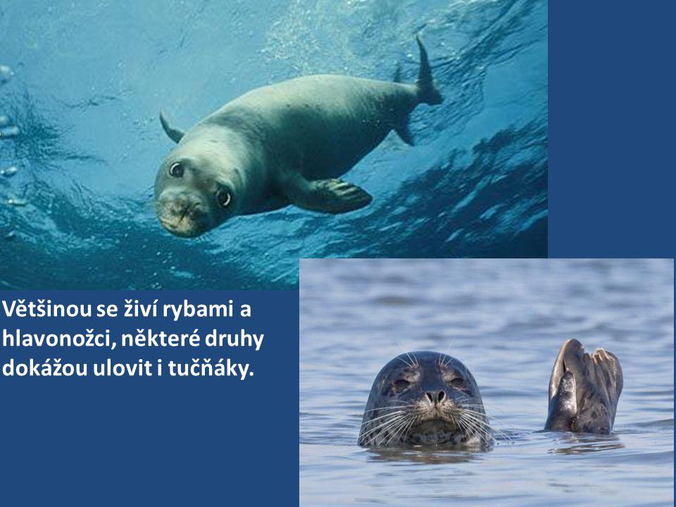 Většinou se živí rybami a hlavonožci, některé druhy dokážou ulovit i tučňáky.
