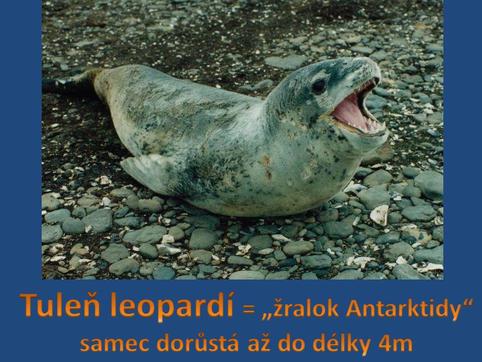 "Tuleň leopardí = ""žralok Antarktidy samec dorůstá až do délky 4m"