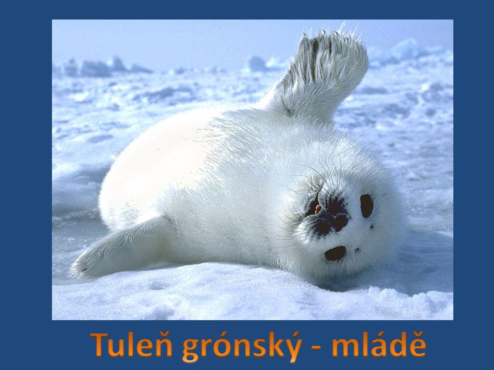Tuleň grónský - mládě