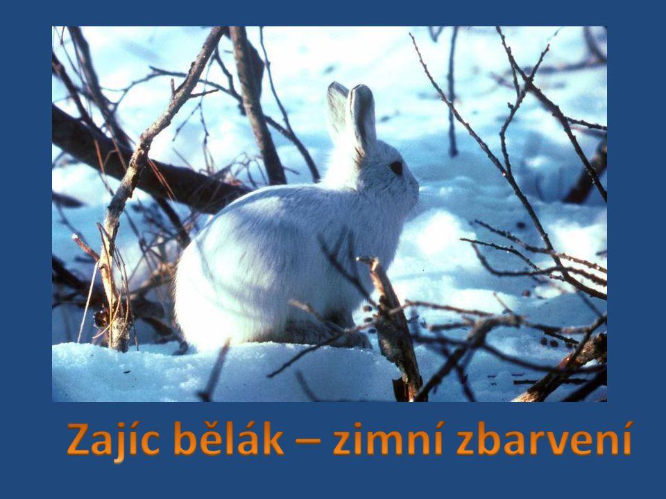 Zajíc bělák – zimní zbarvení