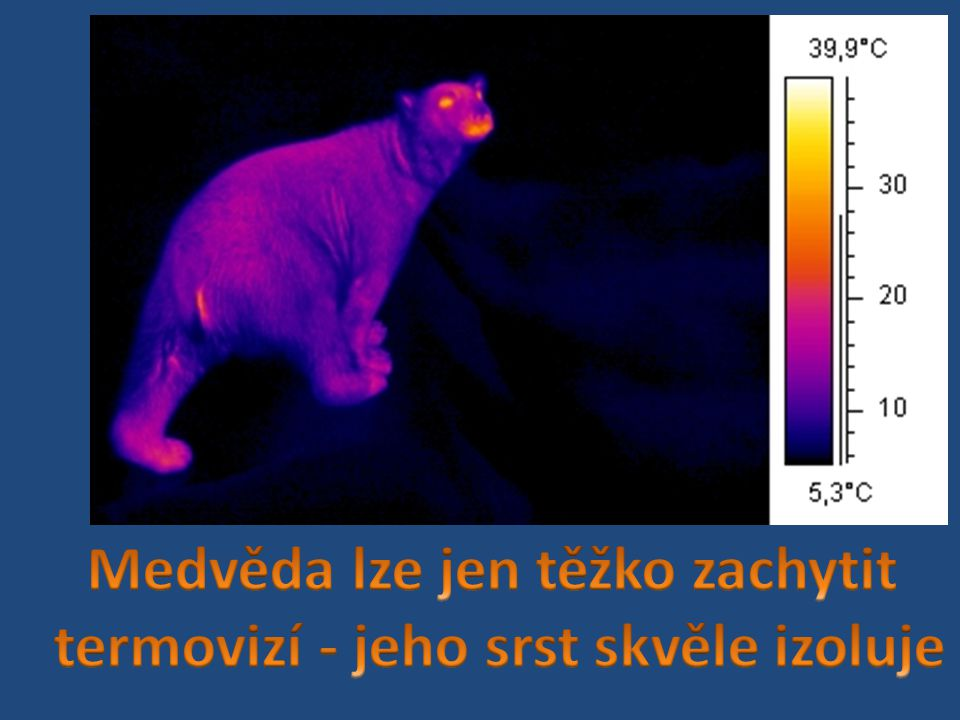 Medvěda lze jen těžko zachytit termovizí - jeho srst skvěle izoluje