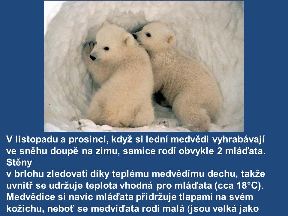 V listopadu a prosinci, když si lední medvědi vyhrabávají ve sněhu doupě na zimu, samice rodí obvykle 2 mláďata.