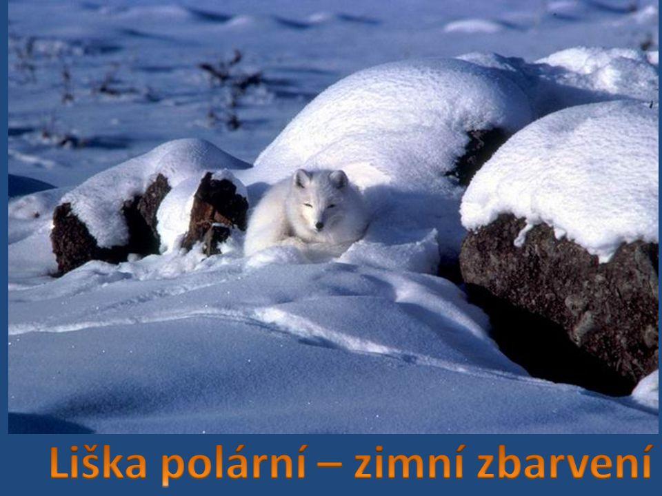 Liška polární – zimní zbarvení