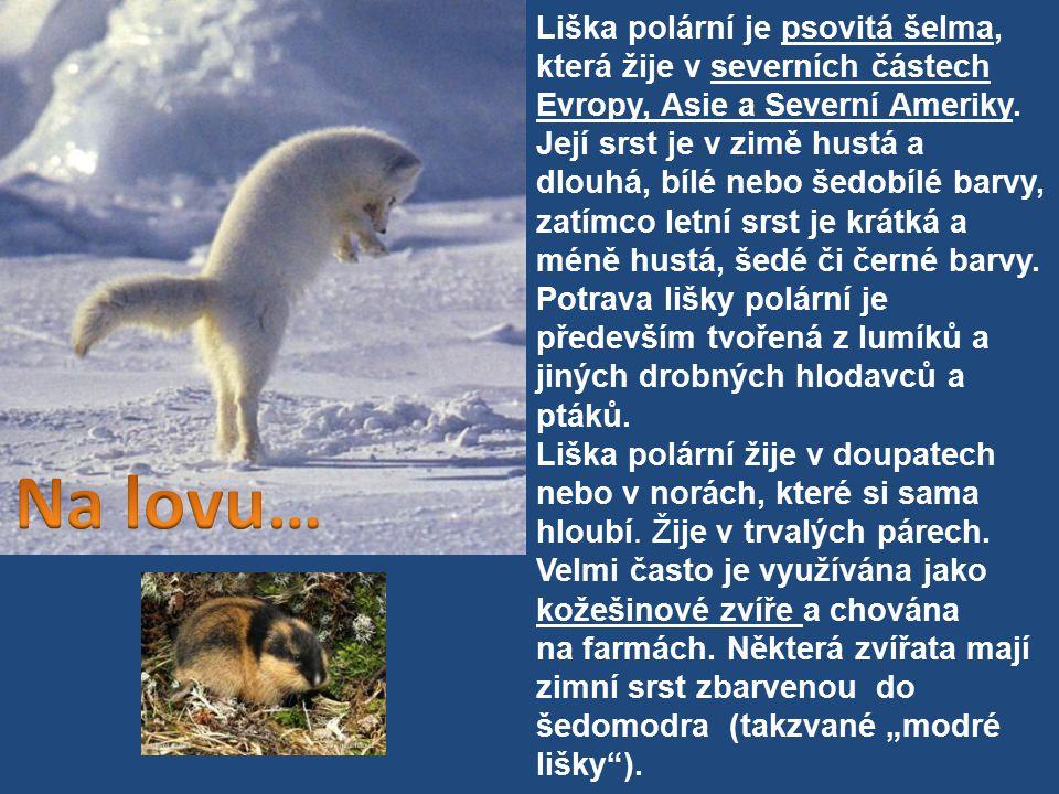 Liška polární je psovitá šelma, která žije v severních částech Evropy, Asie a Severní Ameriky. Její srst je v zimě hustá a dlouhá, bílé nebo šedobílé barvy, zatímco letní srst je krátká a méně hustá, šedé či černé barvy.