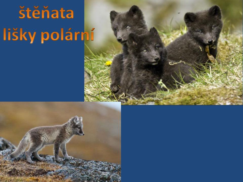 štěňata lišky polární