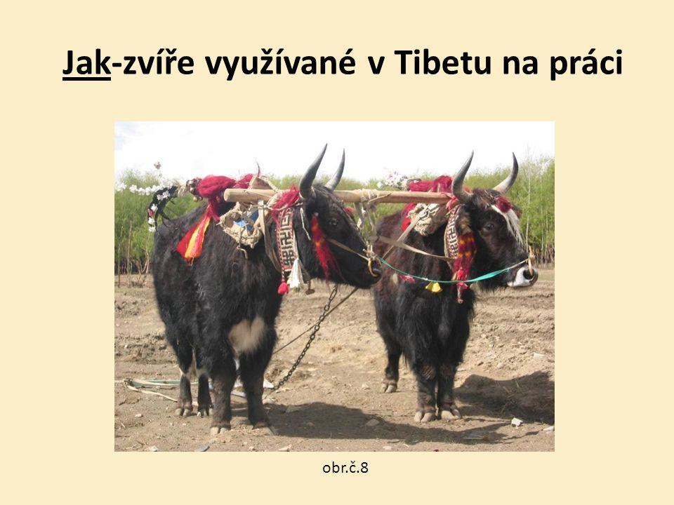 Jak-zvíře využívané v Tibetu na práci