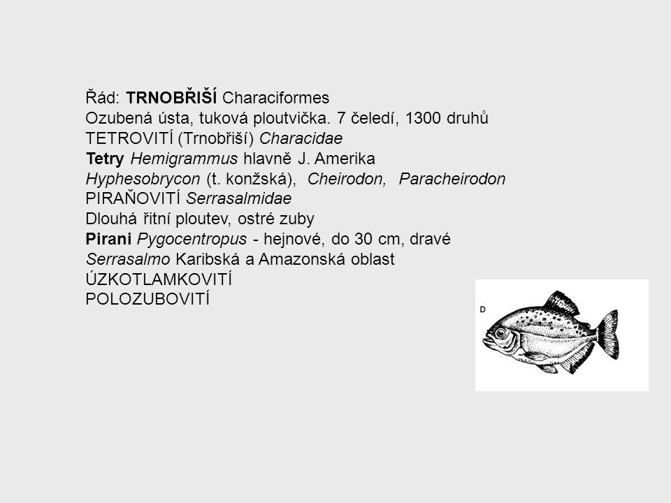 Řád: TRNOBŘIŠÍ Characiformes