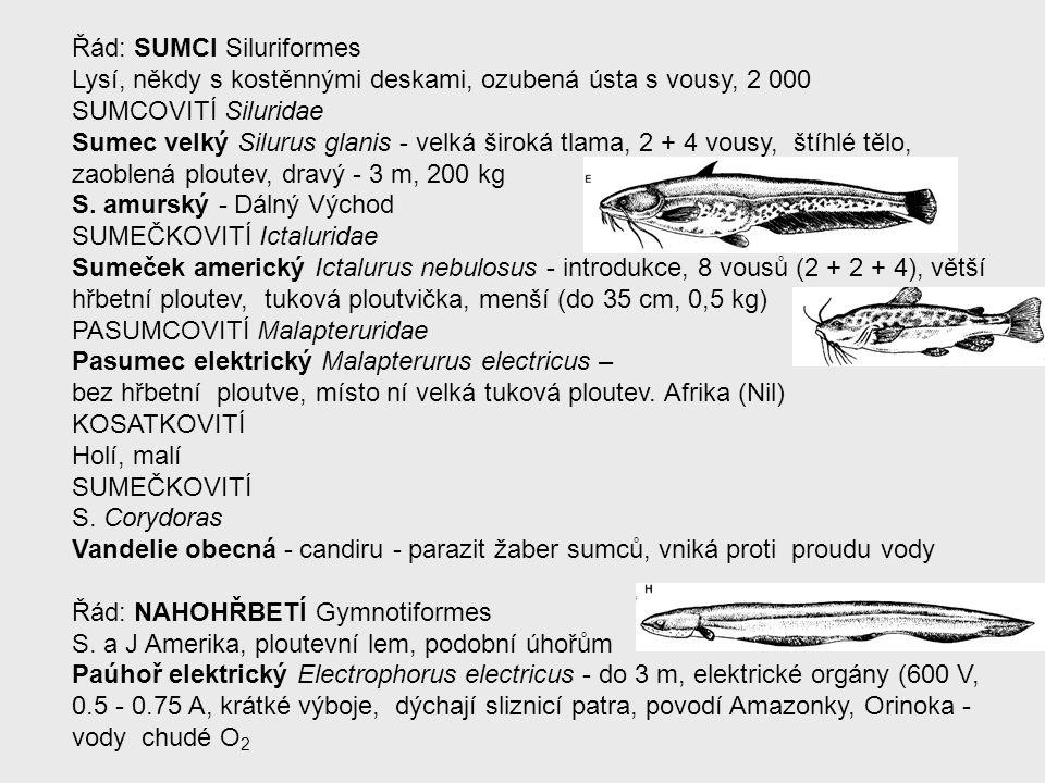 Řád: SUMCI Siluriformes