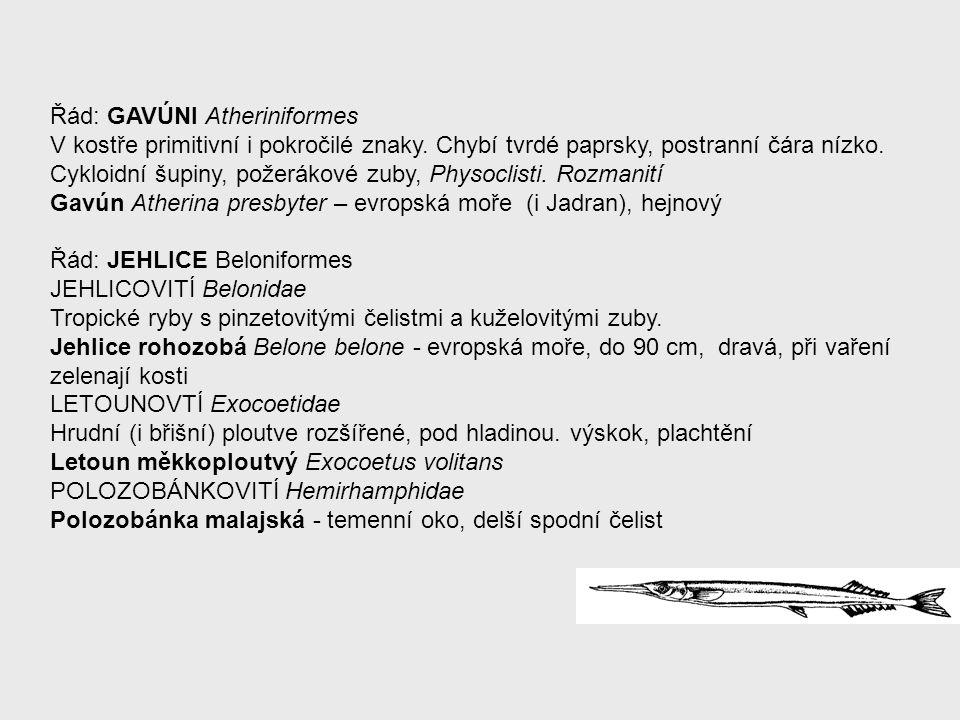 Řád: GAVÚNI Atheriniformes