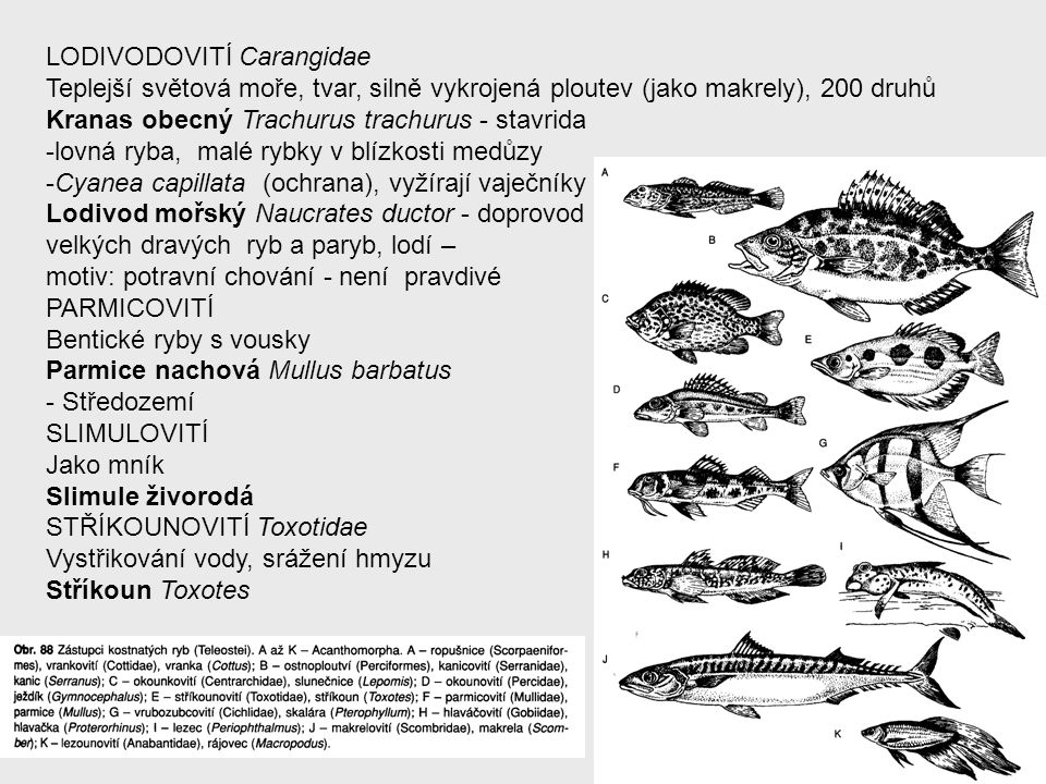 LODIVODOVITÍ Carangidae