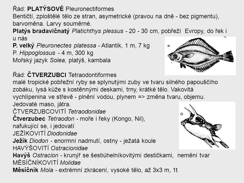 Řád: PLATÝSOVÉ Pleuronectiformes