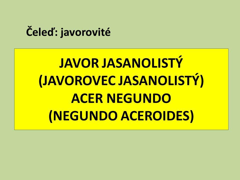 Čeleď: javorovité JAVOR JASANOLISTÝ (JAVOROVEC JASANOLISTÝ) ACER NEGUNDO (NEGUNDO ACEROIDES)