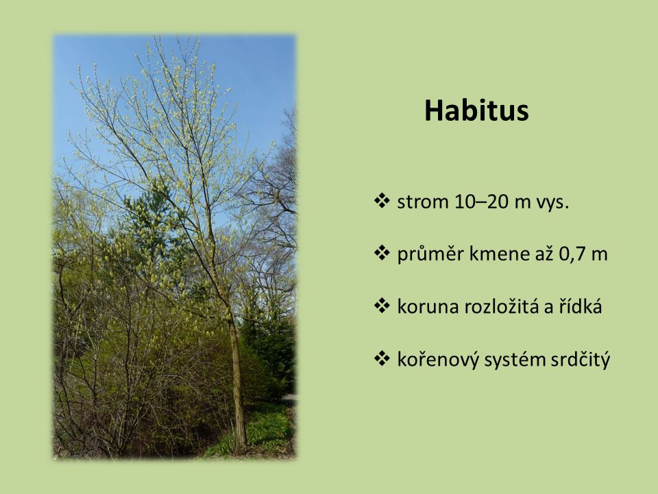 Habitus strom 10–20 m vys. průměr kmene až 0,7 m