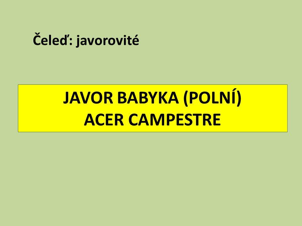 JAVOR BABYKA (POLNÍ) ACER CAMPESTRE