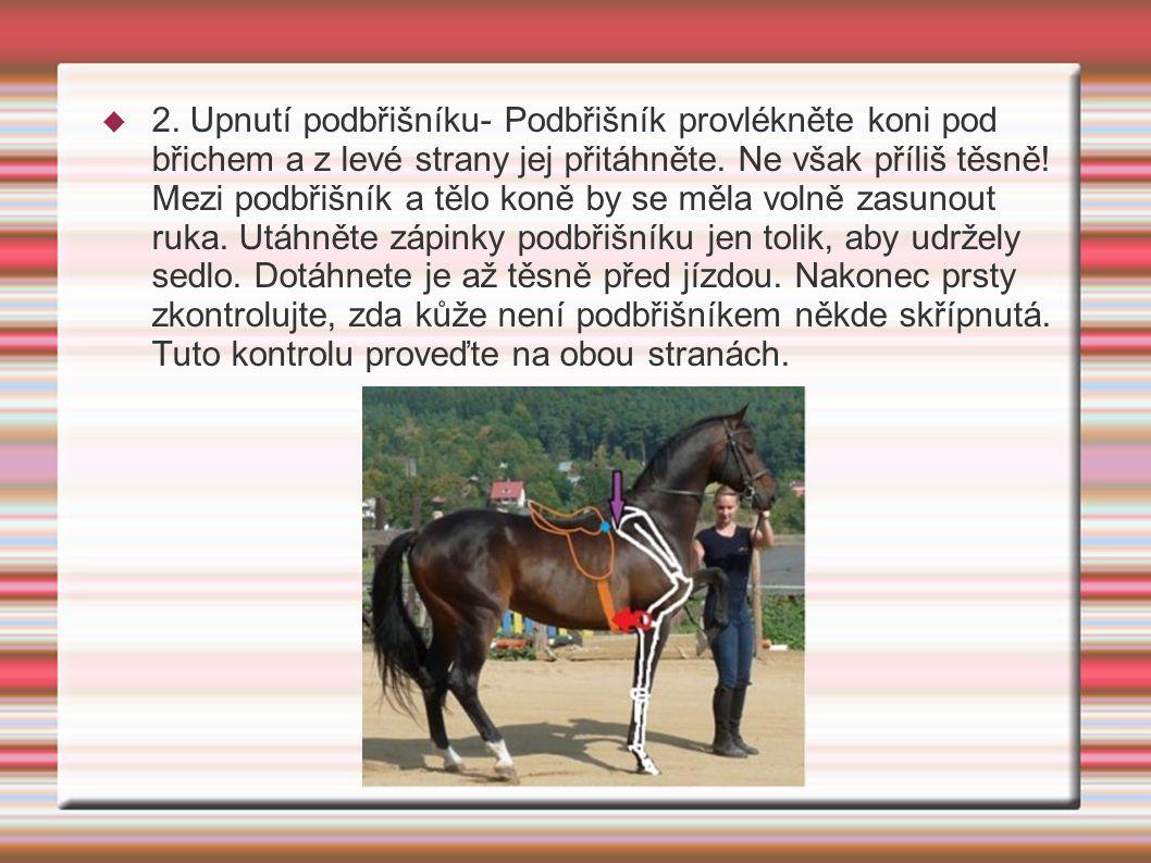 2. Upnutí podbřišníku- Podbřišník provlékněte koni pod břichem a z levé strany jej přitáhněte.