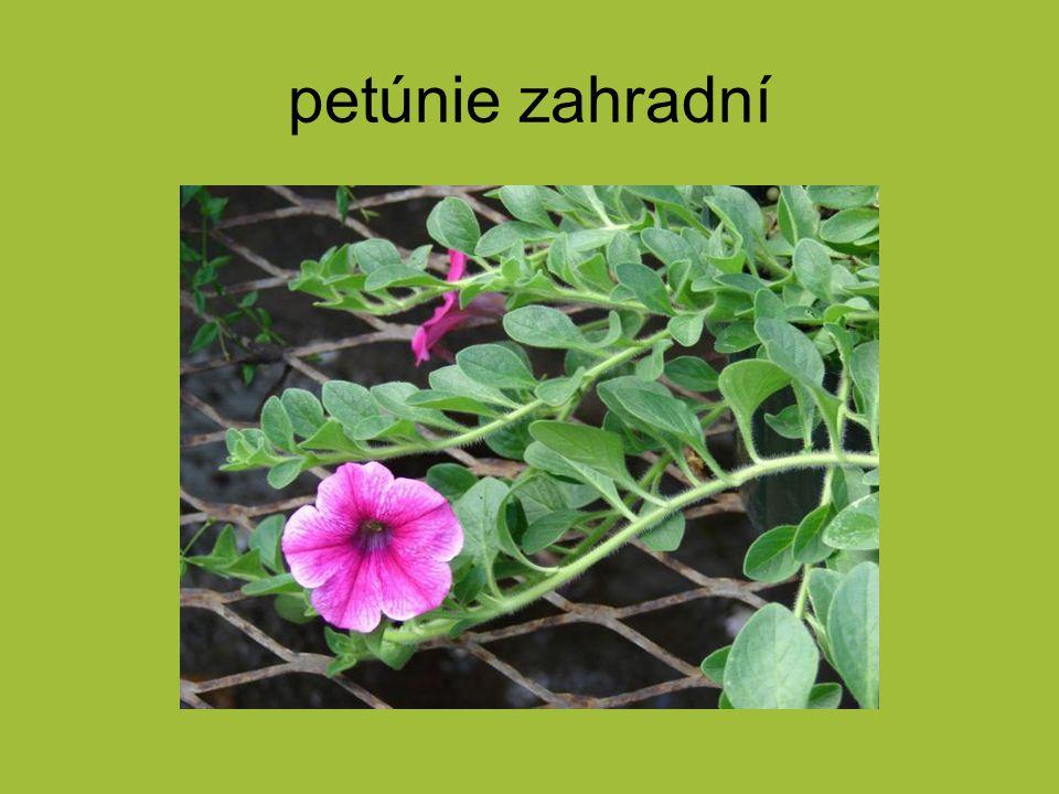 petúnie zahradní