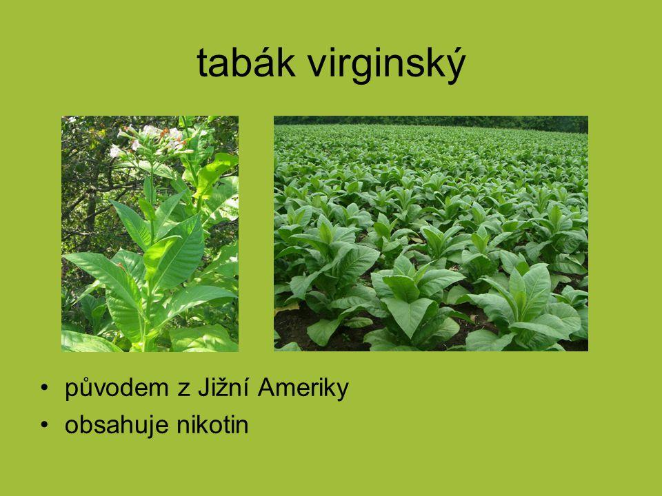 tabák virginský původem z Jižní Ameriky obsahuje nikotin