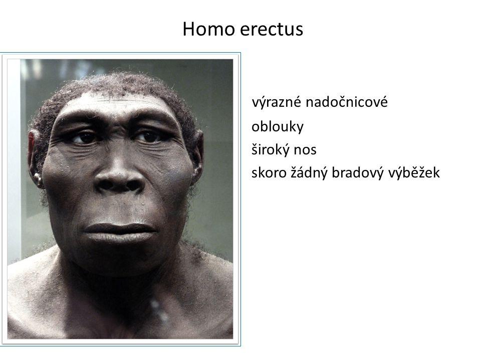 Homo erectus výrazné nadočnicové oblouky široký nos