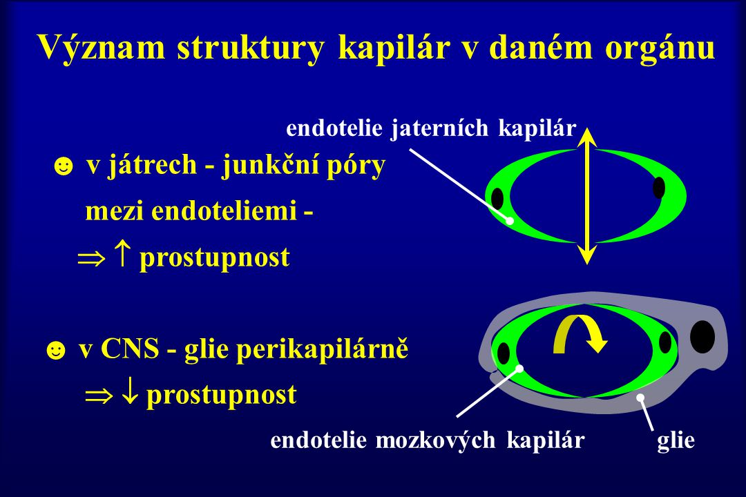 Význam struktury kapilár v daném orgánu