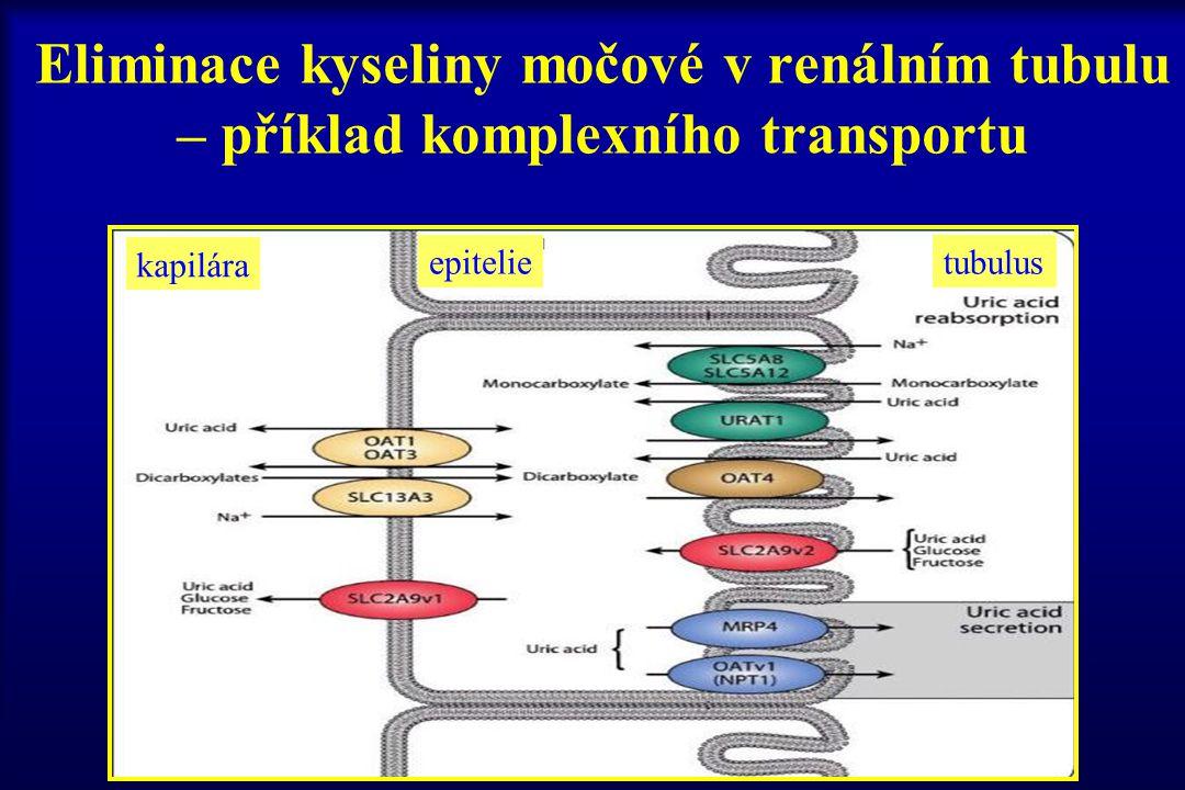 Eliminace kyseliny močové v renálním tubulu – příklad komplexního transportu