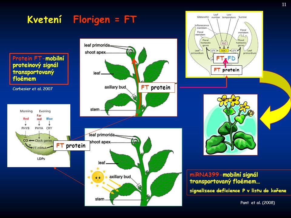 Kvetení Florigen = FT FT protein