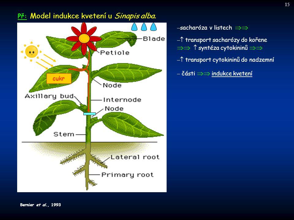 Př: Model indukce kvetení u Sinapis alba.