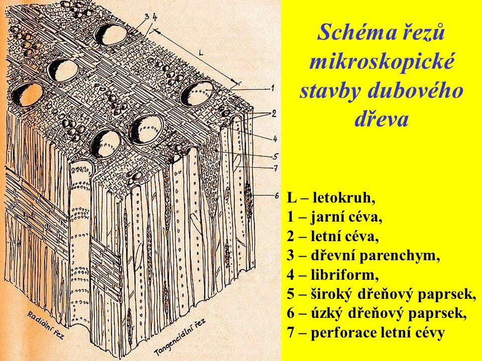 Schéma řezů mikroskopické stavby dubového dřeva
