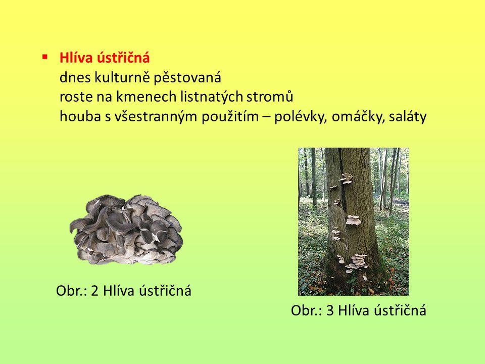 Hlíva ústřičná dnes kulturně pěstovaná. roste na kmenech listnatých stromů. houba s všestranným použitím – polévky, omáčky, saláty.