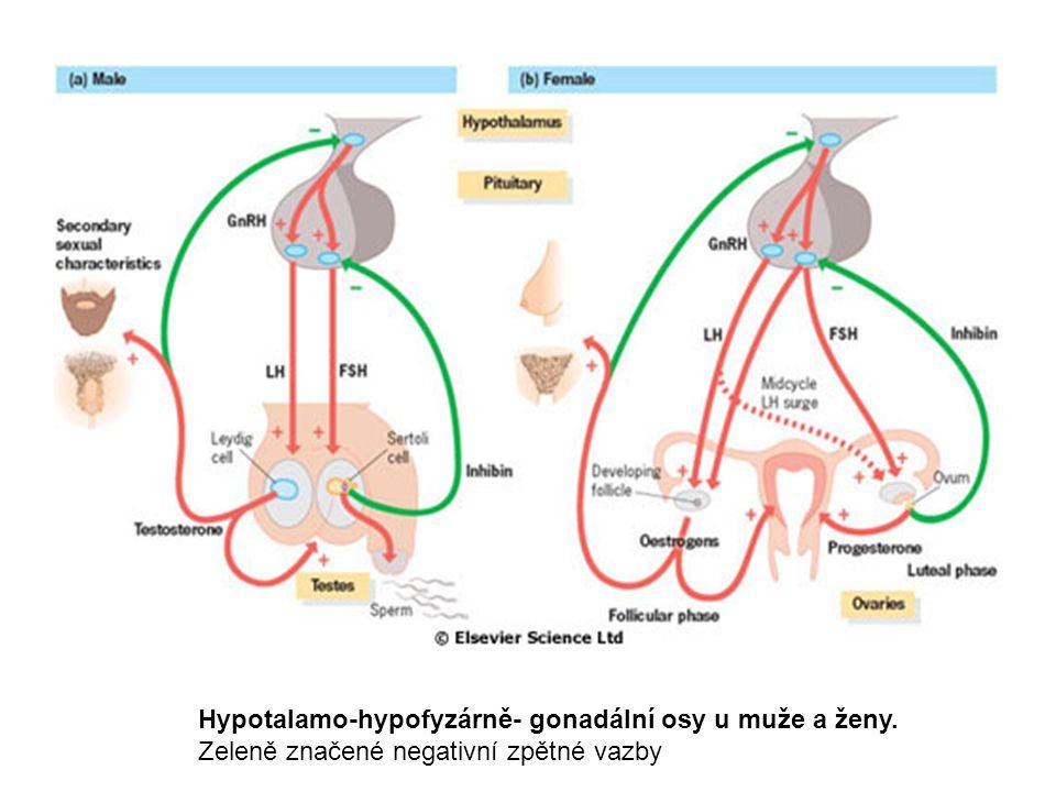 Hypotalamo-hypofyzárně- gonadální osy u muže a ženy.