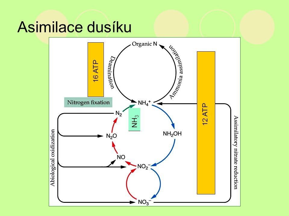 Asimilace dusíku 16 ATP 12 ATP NH3