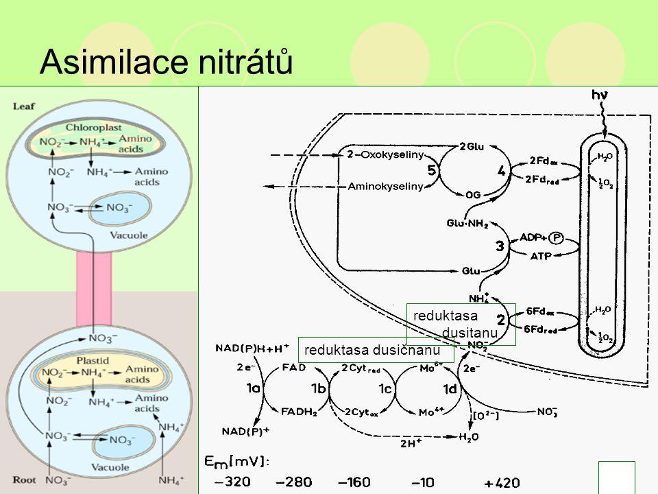 Asimilace nitrátů reduktasa dusičnanu reduktasa dusitanu