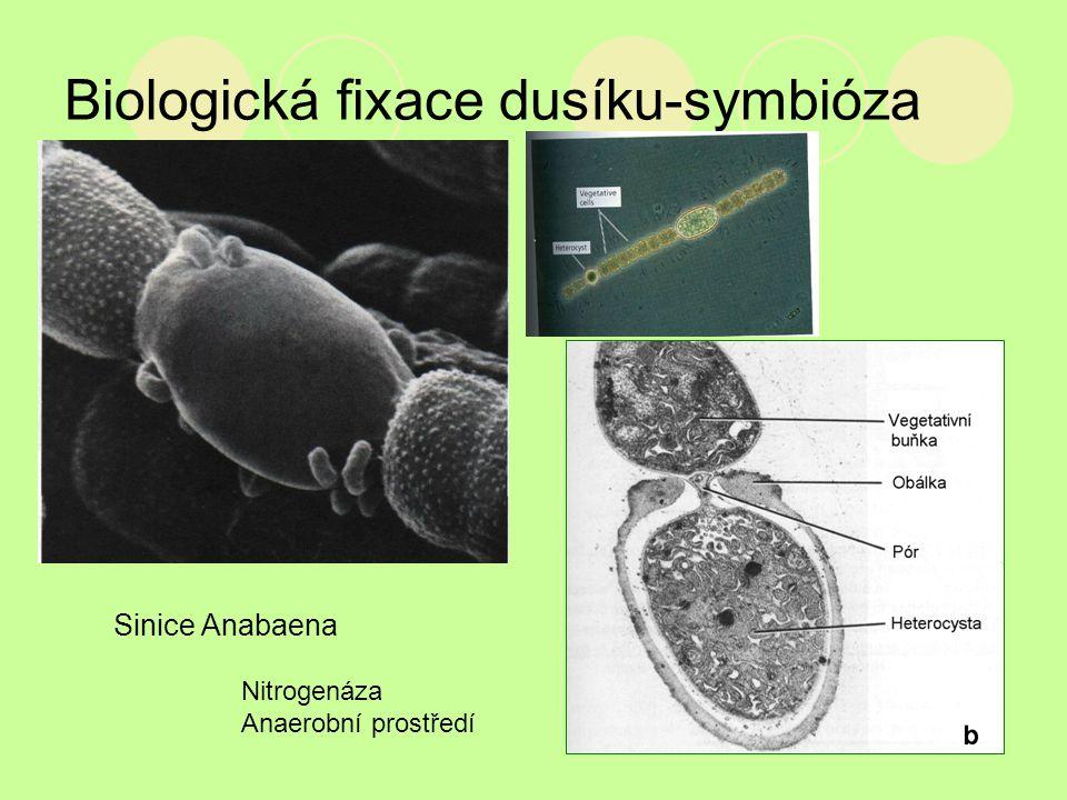 Biologická fixace dusíku-symbióza