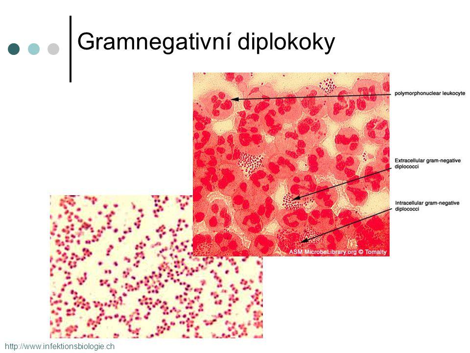 Gramnegativní diplokoky