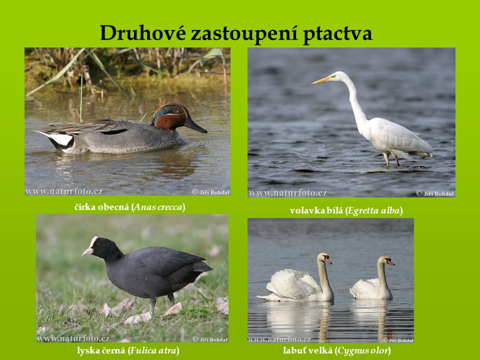 Druhové zastoupení ptactva čírka obecná (Anas crecca)