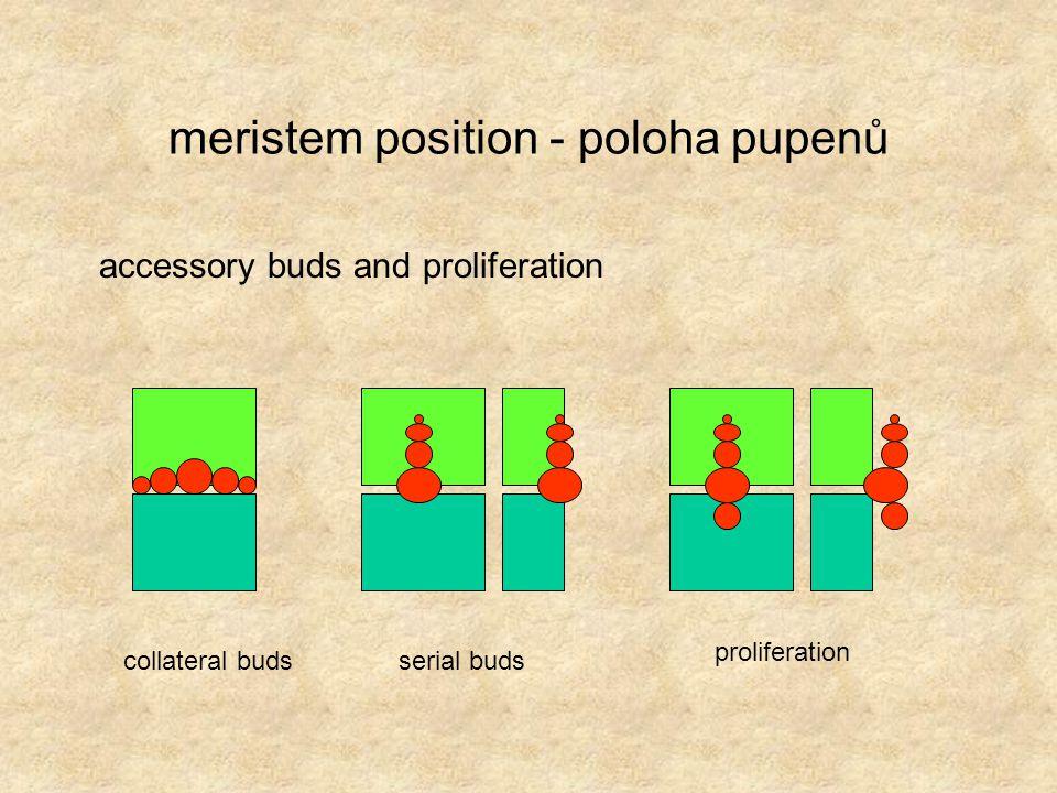 meristem position - poloha pupenů