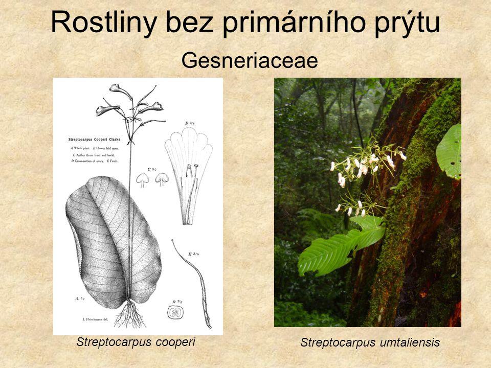 Rostliny bez primárního prýtu Gesneriaceae