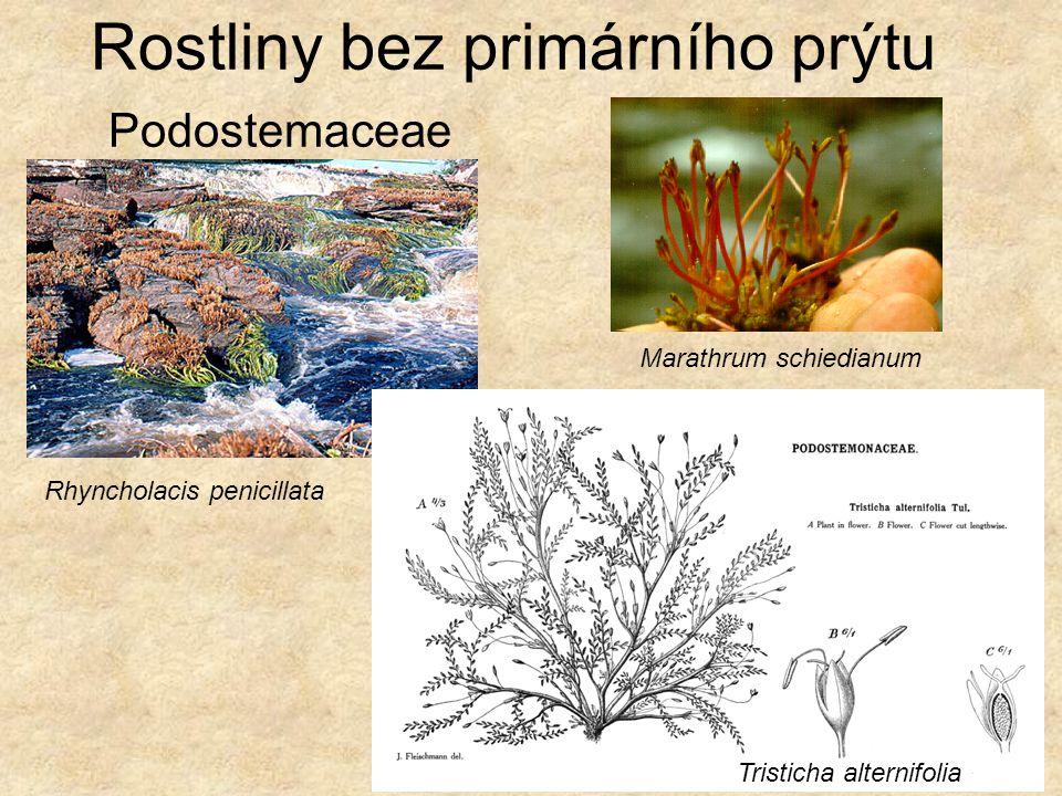 Rostliny bez primárního prýtu Podostemaceae