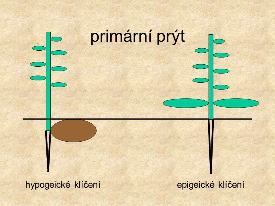 primární prýt hypogeické klíčení epigeické klíčení