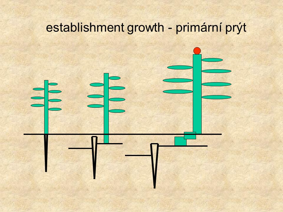 establishment growth - primární prýt