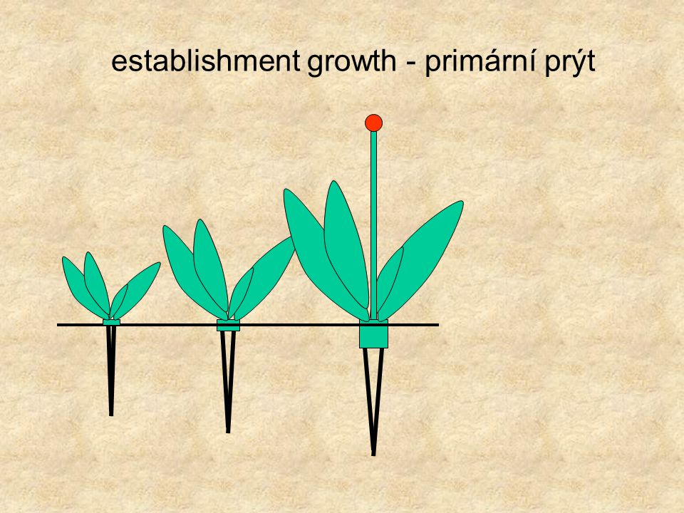 establishment growth - primární prýt
