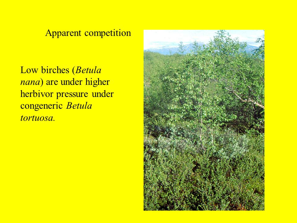 Apparent competition Low birches (Betula nana) are under higher herbivor pressure under congeneric Betula tortuosa.