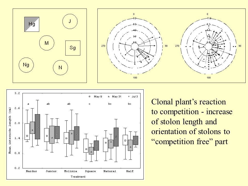 Clonal plant's reaction to competition - increase of stolon length and orientation of stolons to competition free part