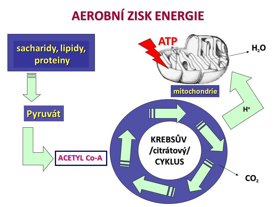 AEROBNÍ ZISK ENERGIE ATP Pyruvát sacharidy, lipidy, proteiny H2O