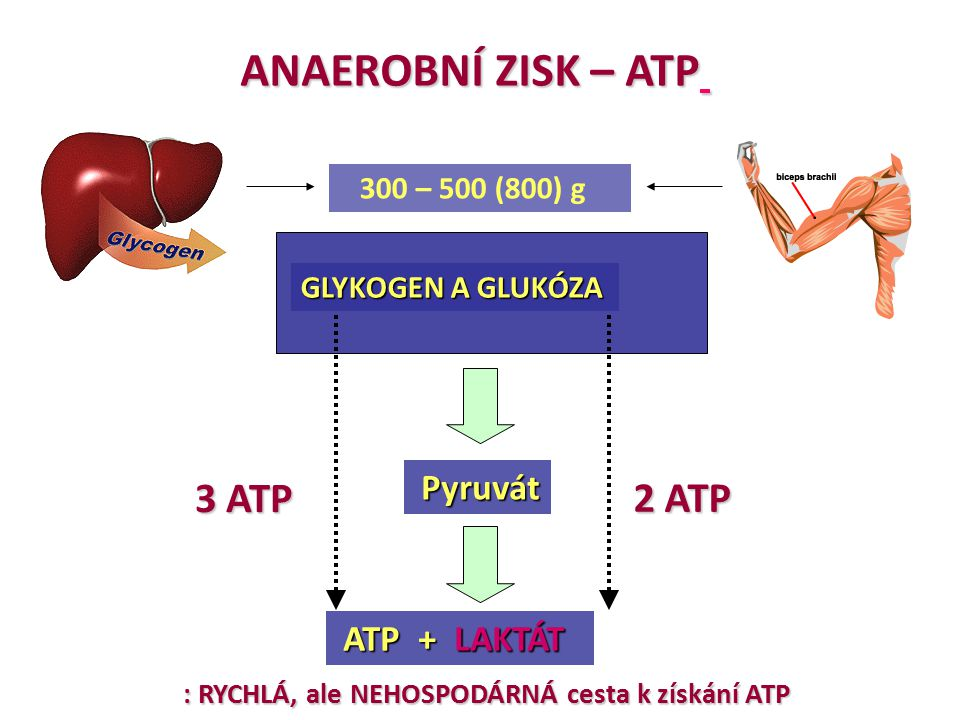 ANAEROBNÍ ZISK – ATP 3 ATP 2 ATP 300 – 500 (800) g GLYKOGEN A GLUKÓZA