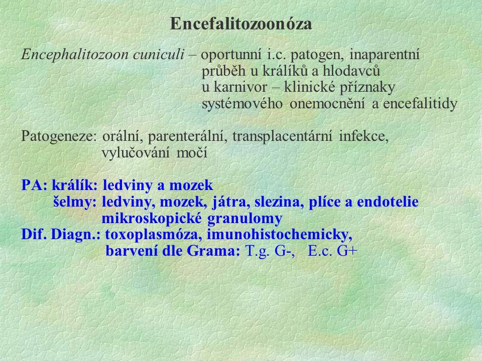 Encefalitozoonóza Encephalitozoon cuniculi – oportunní i.c. patogen, inaparentní. průběh u králíků a hlodavců.