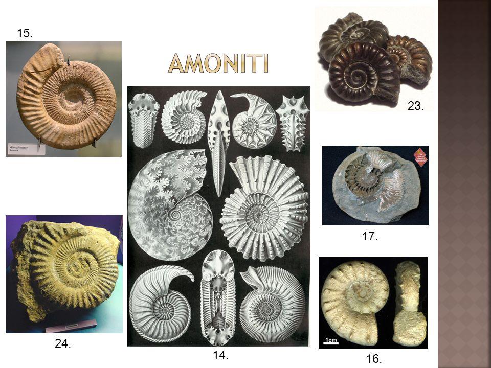 amoniti 15. 23. 17. 24. 14. 16.